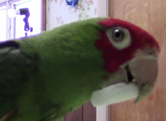 Parrot fascinated by camera