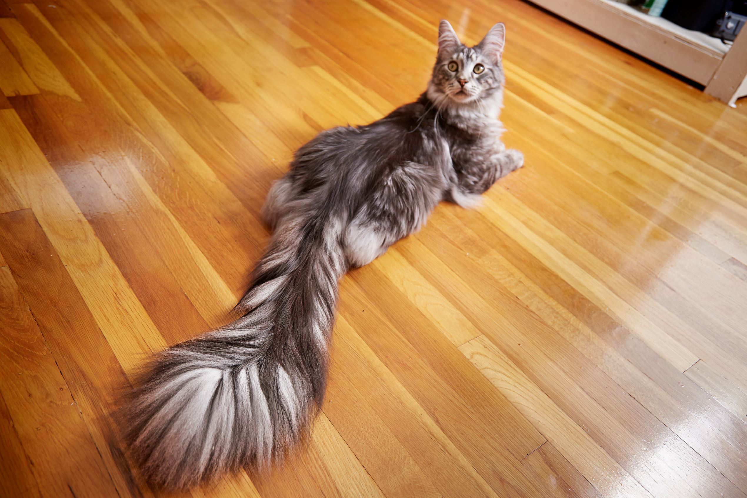Slide 2 Of 39: Cygnus   Cat With The Longest Tail Guinness World Records  2016