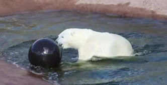 This polar bear just loves his new toy