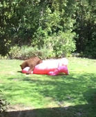 Baby bear invades yard to wrestle with inflatable flamingo