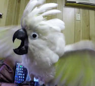 Syd the cockatoo laughs after pulling off prank