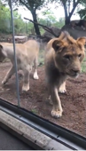 Lion tries to attack dog at zoo in Indianapolis