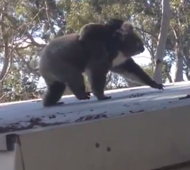 Hilarious koala jump fail