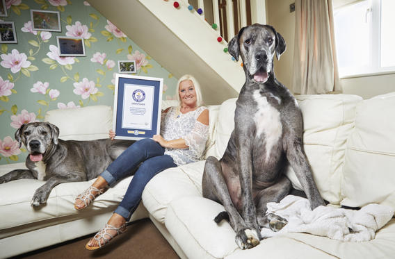 Slide 1 of 11: The tallest dog living is 'Freddy', owned by Claire Stoneman (UK), who was 1.035 m (3 ft 4.75 in) tall when measured in Leigh-on-Sea, UK, on 13 September 2016.
