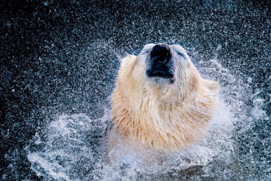 Slide 1 of 58: TOPSHOT - Ice bear 'Sprinter' shakes in his enclosure at the zoo Hanover, northern Germany, on January 6, 2017. / AFP / dpa / Peter Steffen / Germany OUT (Photo credit should read PETER STEFFEN/AFP/Getty Images)