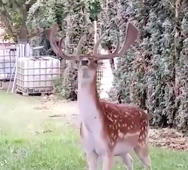 Deer uses antlers to get fruit from a tree