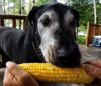 Great Dane eats corn like a pro