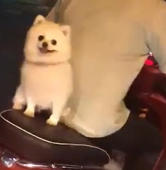 Puppy rides pillion on moped