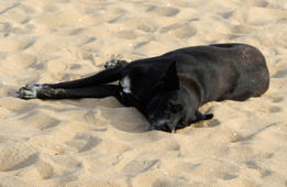(File) Dog asleep on sand, Chennai, India.