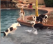 Five puppies playing by the pool