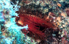 Incredible electric mollusk spotted in Indonesia