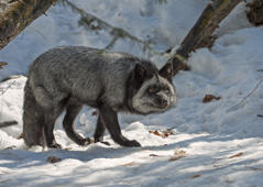 Silver Fox, Northern Ontario, Canada.