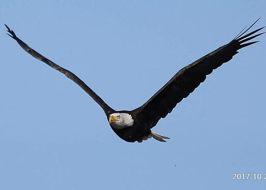 Slide 1 of 17: Linda Tapler spotted an adult bald eagle soaring high in British Columbia in October, 2017.