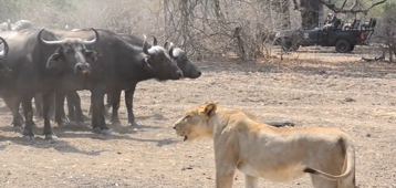 Buffalo herd stands firm during attack by lion pride