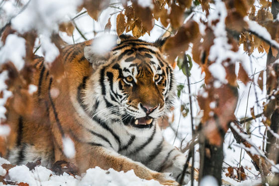 Slide 1 of 17: Beautiful wild siberian tiger on snow