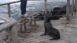 Territorial sea lion chases tourists away