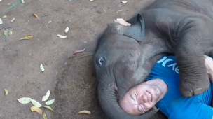Baby elephant cuddles with guy lying on ground