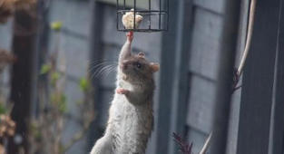 Acrobatic rat pulls off 'mission impossible'