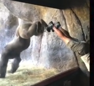 Gorilla surprises everyone with his mimicking abilities