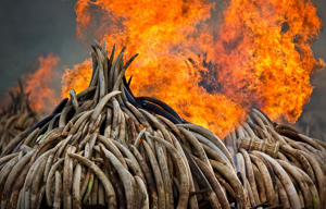 File photo, an ivory statue, right, lies on top of pyres of ivory as they are set on fire in Nairobi National Park, Kenya.