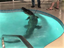 Gator found taking leisurely swim in Florida home's indoor pool
