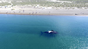 CORRECTS LOCATION FROM PENINSULA VALDES TO EL DORADILLO BEACH - In this Sept. 26, 2017 photo, a Southern right whale swims on the surface near the coast of El Doradillo Beach, Patagonia, Argentina. A record number of Southern right whales migrate each year from Antarctica to Argentina's Patagonia to give birth and feed their offspring. (AP Photo/Maxi Jonas )