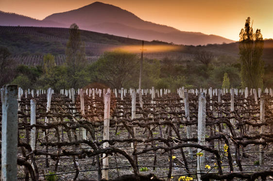 Slide 1 of 23: A vineyard in the city of Alushta at sunset.