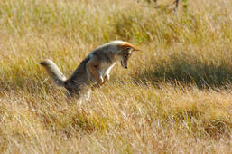 Coyote Pouncing on Vole, Willow Park, Yellowstone National Park, Wyoming. (Photo by: Ron Reznick/VW Pics/UIG via Getty Images)