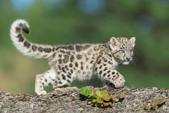 Slide 1 of 57: CAPTION: Snow Leopard kitten with extended large tail walking on rocky surface in the forest