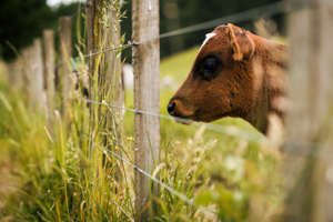 Young cow pokes it's head through a fence on a New Zealand farm.