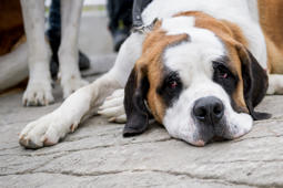 A Saint Bernard dog is pictured during the unveiling of brand new kennels for Saint Bernard dogs at the Great Saint Bernard mountain pass, near Bourg-Saint-Pierre, between Switzerland and Italy, on July 14, 2017. The Saint Bernard dog was once the companion of monks, guiding them through the Alps or helping to rescue stranded or lost travellers in the snowy mountains. / AFP PHOTO / Fabrice COFFRINI        (Photo credit should read FABRICE COFFRINI/AFP/Getty Images)