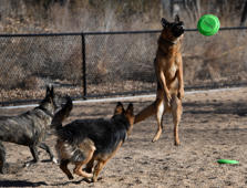 DENVER, CO - DECEMBER 09: Gunnar the german shepherd shows off his flying disc skills launching in the air at Denver's newest off-leash dog park at Barnum Park December 09, 2017. Denver Parks and Recreation and local officials held a grand opening of the new fully-enclosed dog park Saturday morning. (Photo by Andy Cross/The Denver Post via Getty Images)