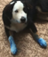 Naughty pup leaves blue paw prints all over his owner's home