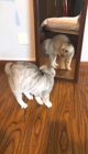 Confused cat bounces off mirror fighting its own reflection