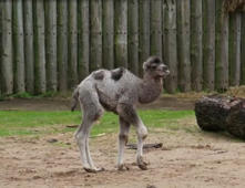 English zoo names camel calf after Prince Louis