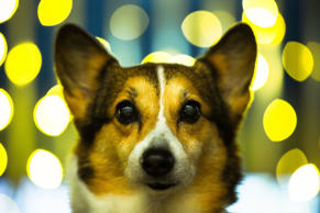 Welsh Corgi Dog's Portrait