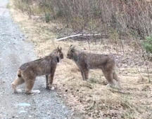 Two Canadian lynx have a very intense conversation