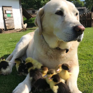 a dog sitting in the grass: Fred ducklings labrador dog Mountfitchet Castle England