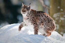 Linx on the snow