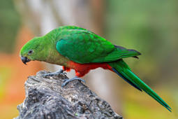 Australian king parrot (Alisterus scapularis) female, native to eastern Australia. (Photo by: Arterra/UIG via Getty Images)