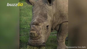 a elephant that is standing in the grass: Science Could Bring the Endangered Northern White Rhino Back From Extinction
