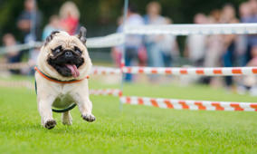 A pug competes during the 5th southern Germany pug and bulldog race in Wernau, southern Germany, on September 4, 2016. / AFP / dpa / Christoph Schmidt / Germany OUT        (Photo credit should read CHRISTOPH SCHMIDT/AFP/Getty Images)
