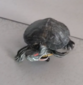 Tiny turtle rides miniature skateboard