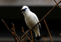 A Bali Starling also known as a Rothschild Mynah, one of the world's rarest birds, in its enclosure at Edinburgh Zoo, during the first day of the Brilliant Birds exhibition featuring some of the world's rarest and most beautiful birds.   (Photo by Andrew Milligan/PA Images via Getty Images)