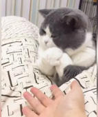 Cat refuses to shake hands with owner