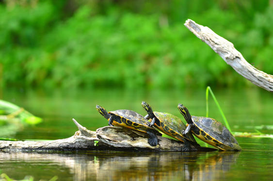 Slide 1 of 25: Three Pseudemys suwanniensis turtles facing left with their fronts stacked on each other's back. The turtles are sunning on a floating log on a clam river with out of focus greenery in the background.
