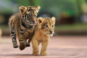 The cubs run along in their enclosure