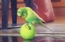 Parakeet enthusiastically plays with tennis ball