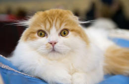 MOSCOW REGION, RUSSIA - MARCH 4, 2017: A Scottish Fold breed cat at the Catsburg 2017 international cat show at Moscows Crocus Expo Exhibition Centre. Dmitry Serebryakov/TASS (Photo by Dmitry Serebryakov\TASS via Getty Images)