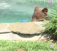 Bear chills out in California hot tub